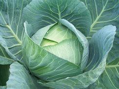 07_cabbage01.jpg